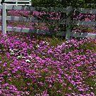 Pink Flax, SR 42, Summerfield Florida, USA by Margaret Shark