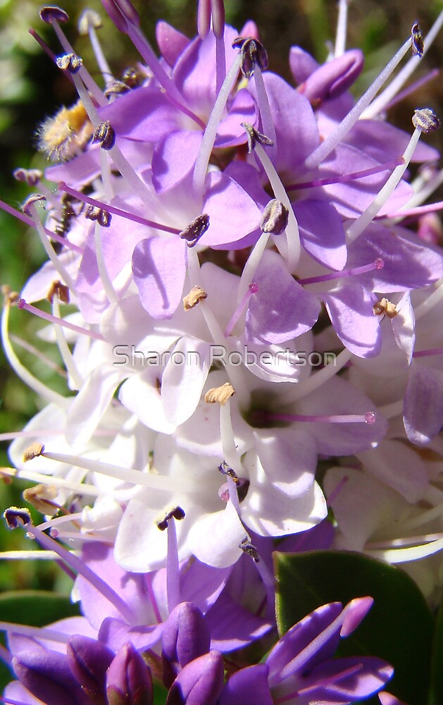 Purple Flower by Sharon Robertson
