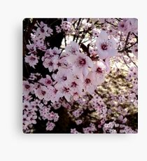 Pink Prunus Blossom Beauty  Canvas Print