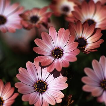 African Daisy Zion Red by bubbleblue