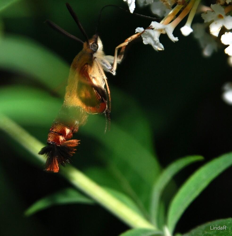 Macro Moth... by LindaR