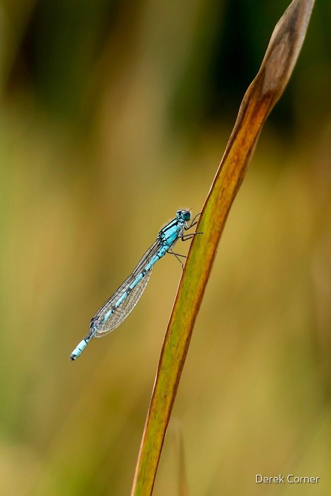 Blue damselfly by Derek Corner
