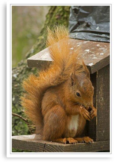 Red Squirrel by Derek Corner
