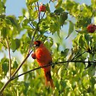 Early Morning, Late Summer, Northern Cardinal by Paul Gitto