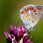 Common blue by cuprum