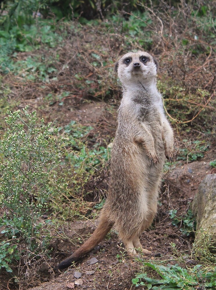 Meerkat standing to attention by Megan Howdle
