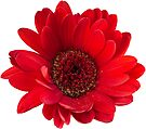 Close up photograph of a red gerbera flower by Sara Sadler