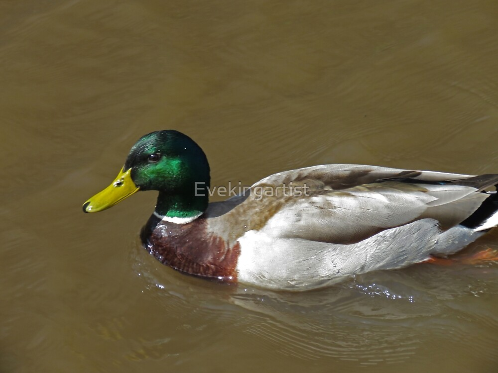 Male duck by Eve King