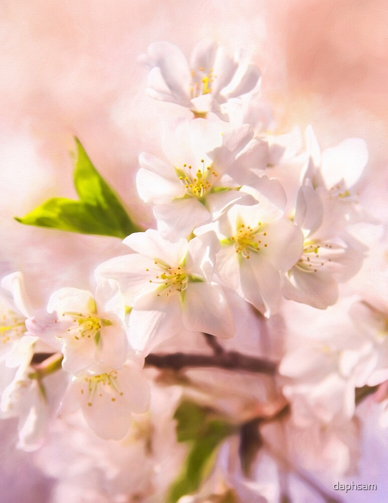 Cherry Blossoms In Spring by daphsam