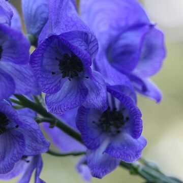 Monkshood by cuprum