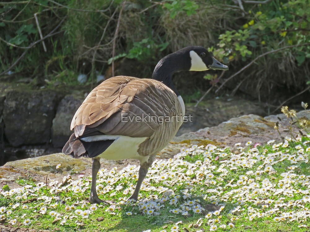 Canadian goose and spring flowers by Eve King