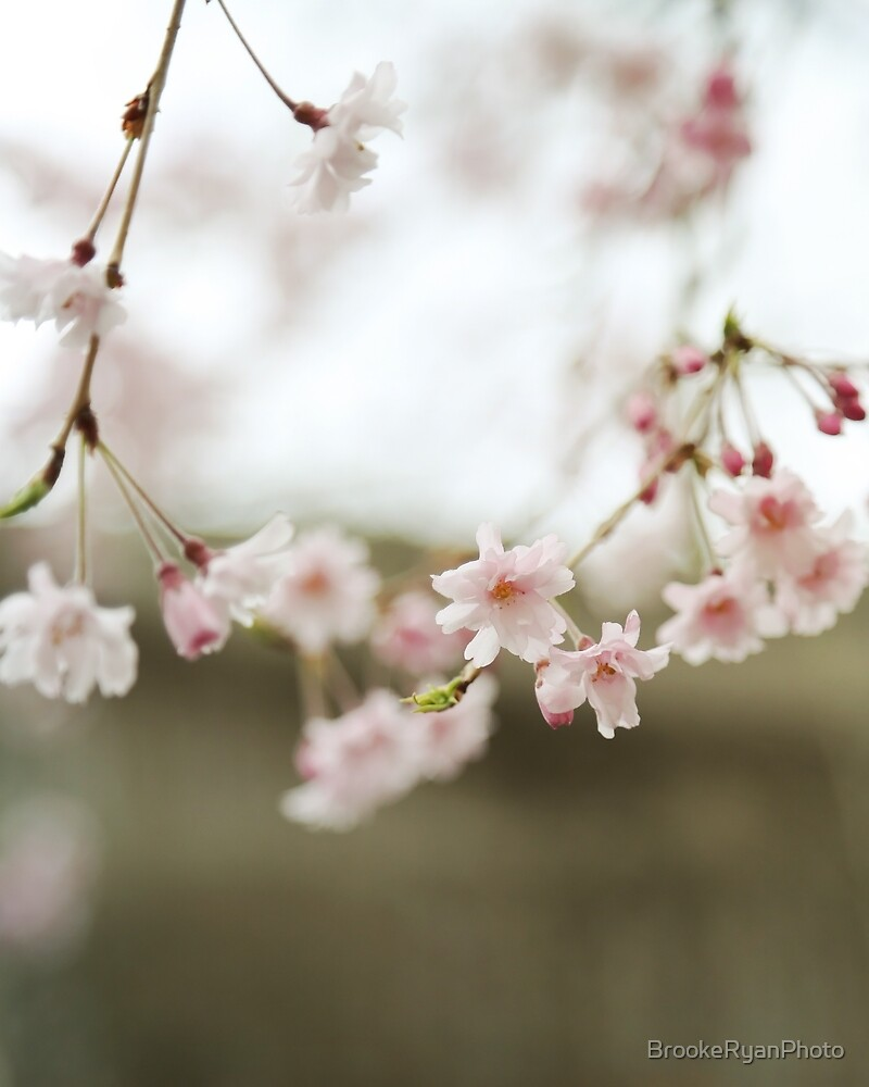 Blush Pink Cherry Blossoms on Brown by BrookeRyanPhoto