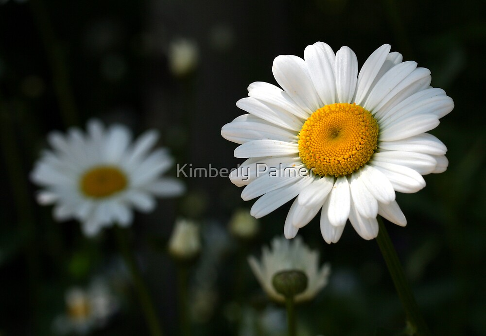 Garden of Daisies by Kimberly Palmer