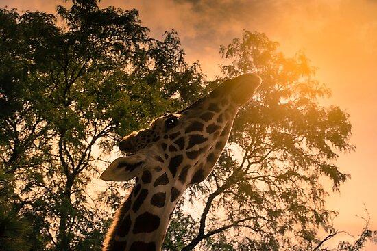 A little giraffe sunshine by Scott Engel