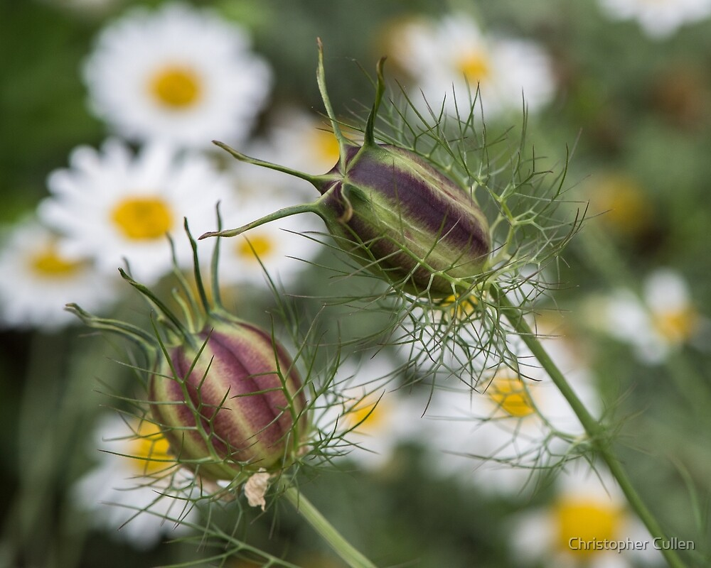 Nigella & Aster by Christopher Cullen