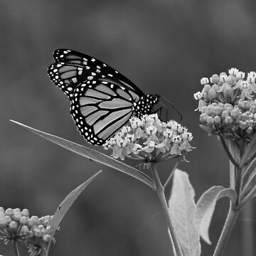 Monarch in Black and White by SandyK