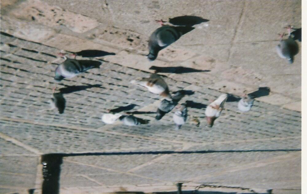 Pidgeons by Larra