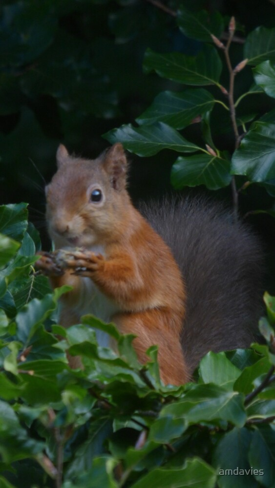Red Squirrel by amdavies