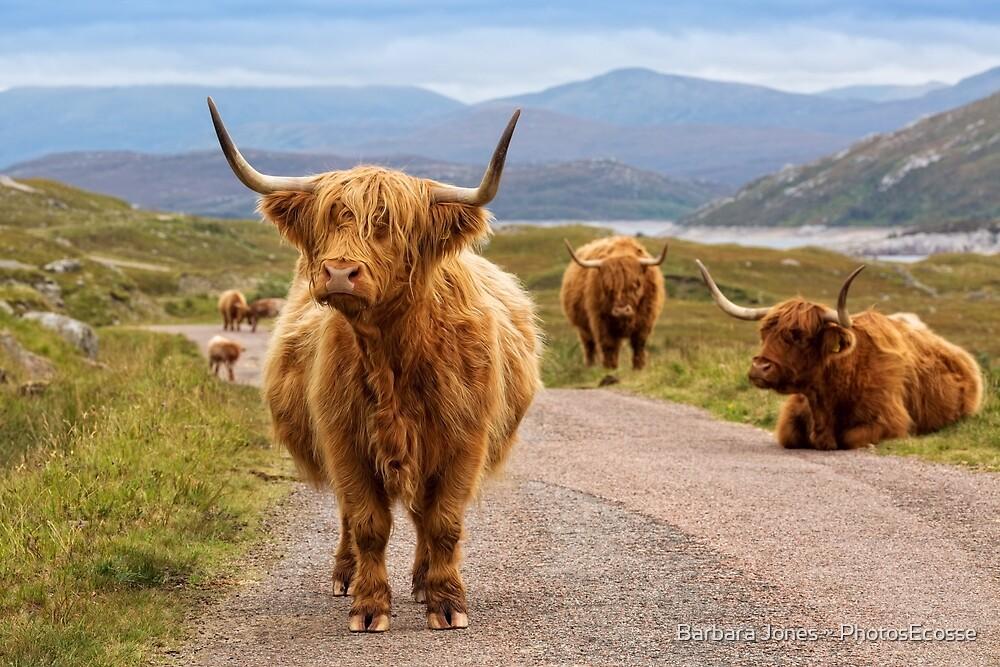 Highland Cow. Glen Garry. Kinloch Hourn. Scottish Highlands. by Barbara  Jones ~ PhotosEcosse