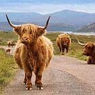 Highland Cow. Glen Garry. Kinloch Hourn. Scottish Highlands. by PhotosEcosse