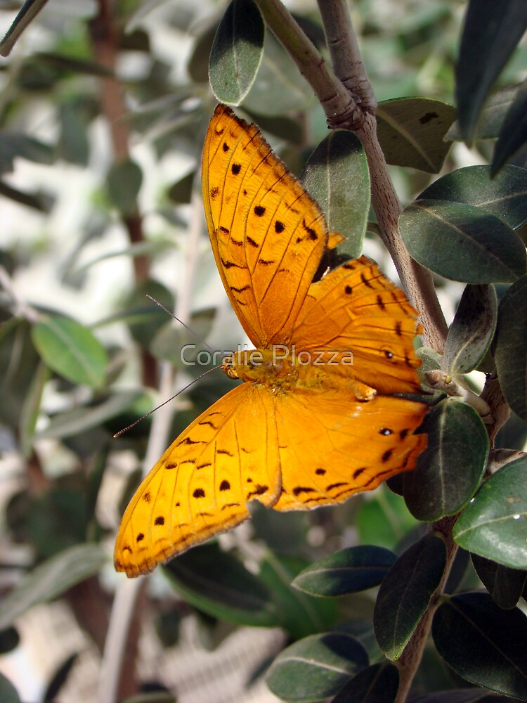 Vindula arsinoe Butterfly - Quindalup Butterfly & Fauna Park W.A. by Coralie Plozza