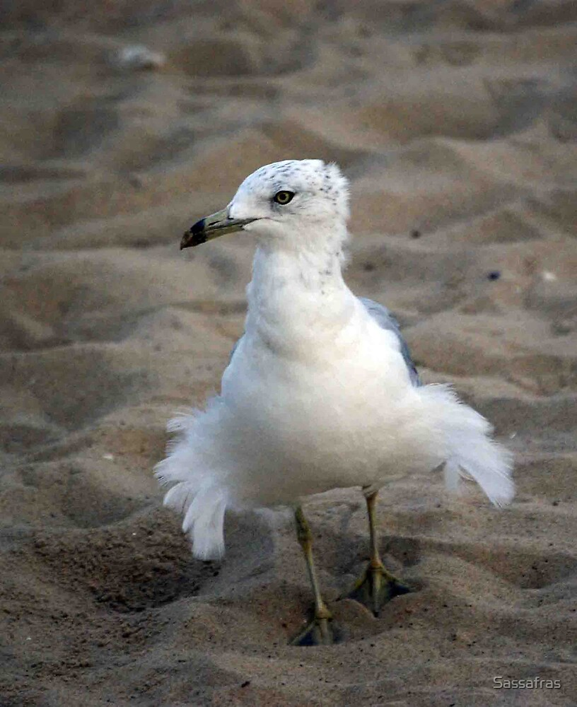 "--""Fluff-the seagull by Sassafras"