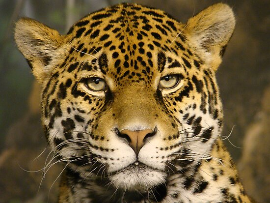 "Jaguar series # 2 - ""Boris looks me over"" by dmwarnman"