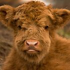 Cute Calf ! Highland Cow. Scottish Highlands. by Barbara  Jones ~ PhotosEcosse