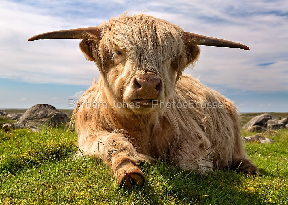 Highland Cow at  Islibhig. Isle of Lewis. Scotland. by Barbara  Jones ~ PhotosEcosse