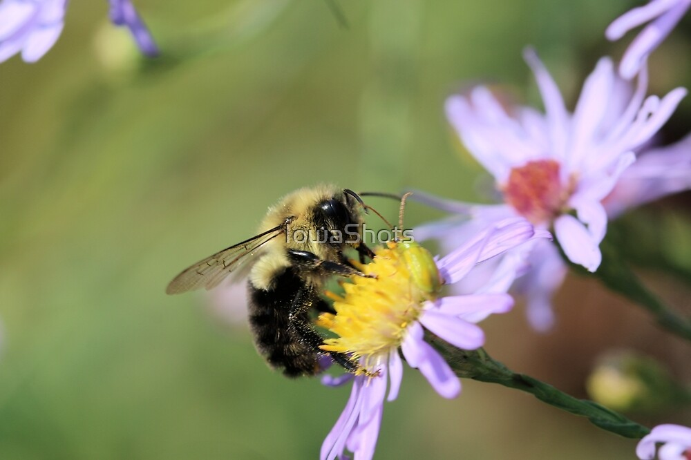 Don't Aster me questions...I'm buzzy by IowaShots