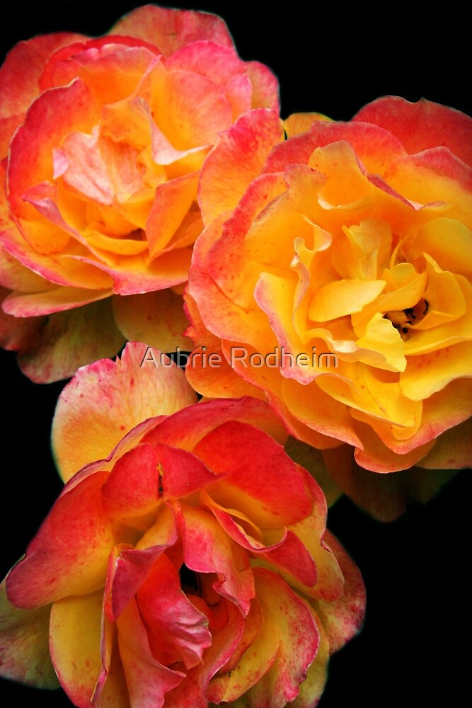 Orange Roses  by Aubrie Rodheim