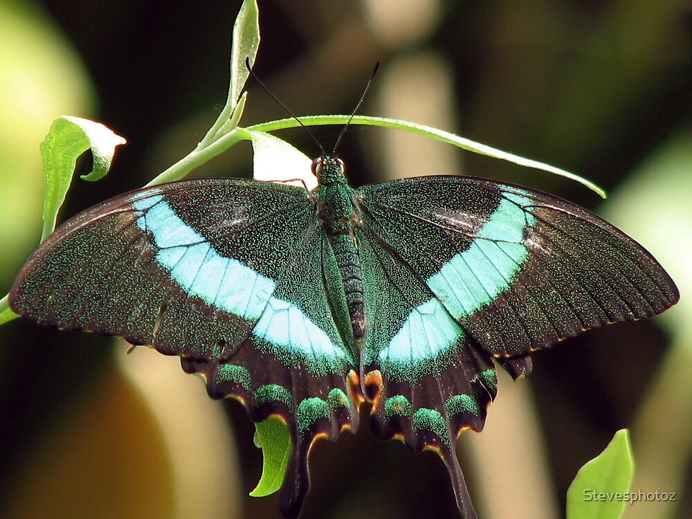 Emerald Swallowtail Butterfly by Stevesphotoz