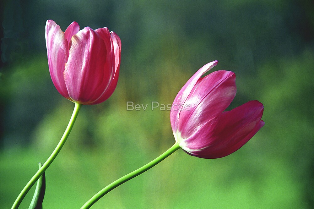 Pink Tulips by Bev Pascoe