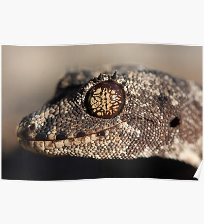 Katherine form Spiny-tailed Gecko Poster