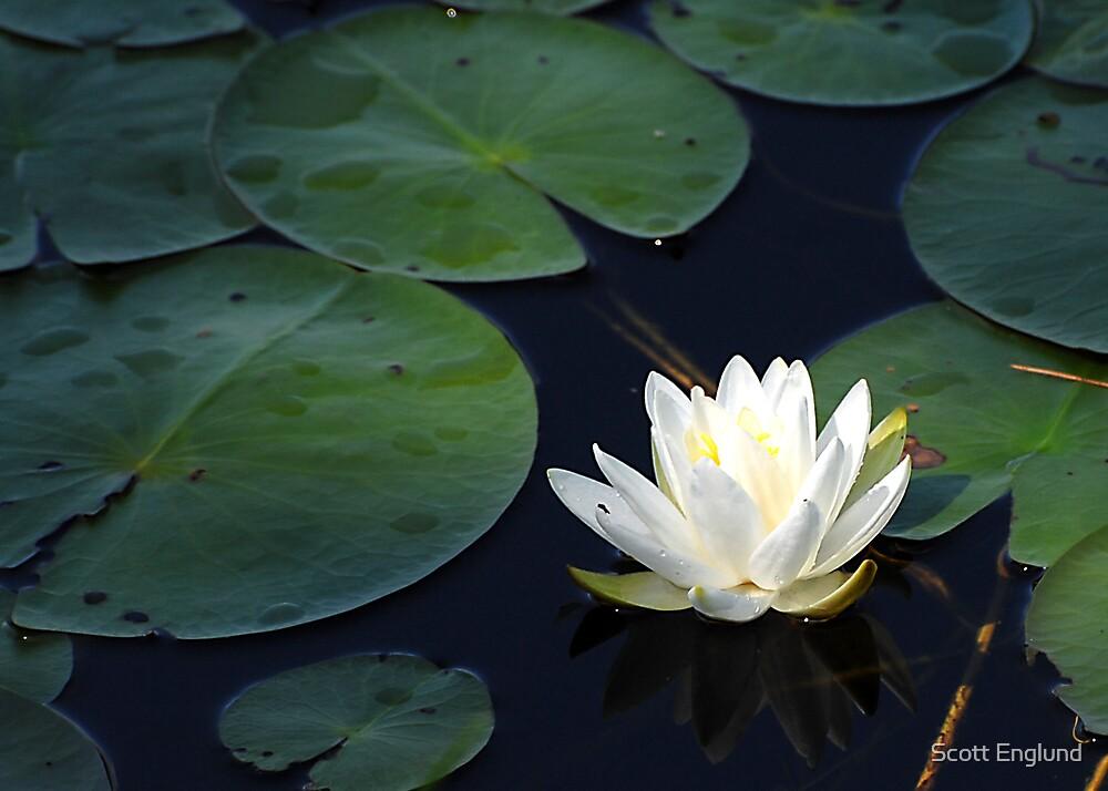 Water Lilly 3 by Scott Englund