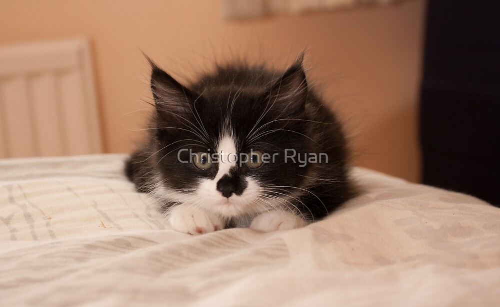 Black and white Kitten  by Christopher Ryan