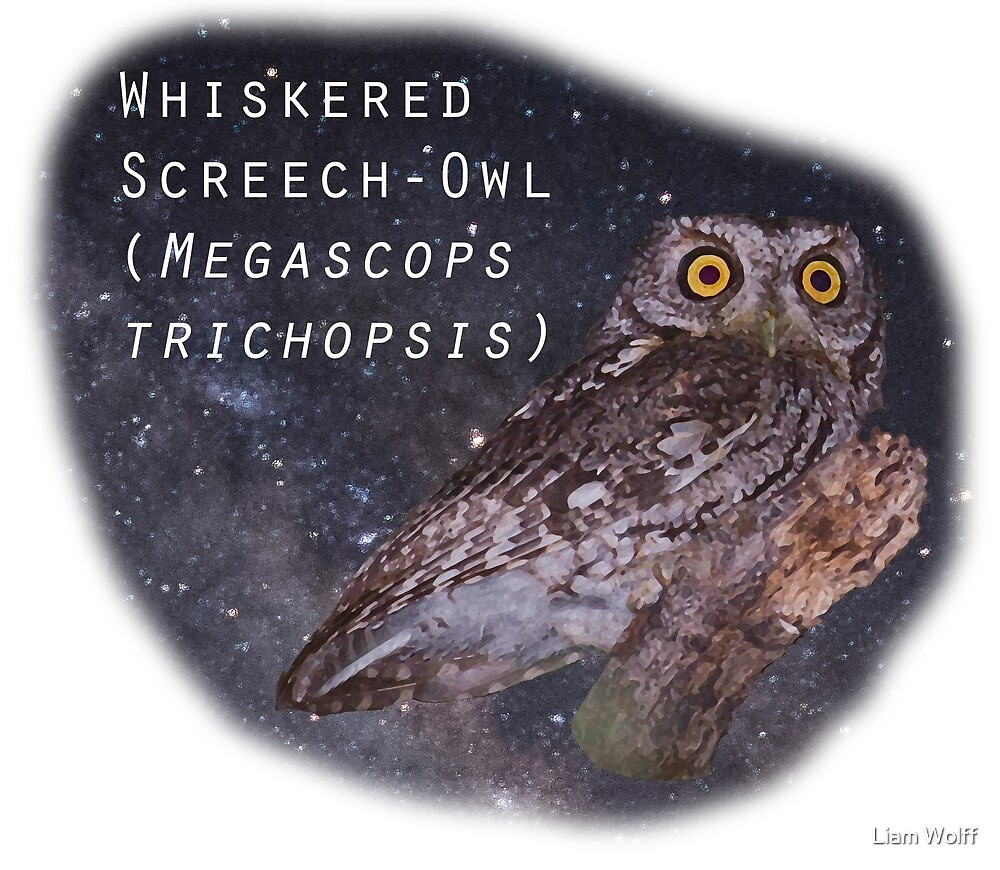 Whiskered Screech-Owl by Liam Wolff