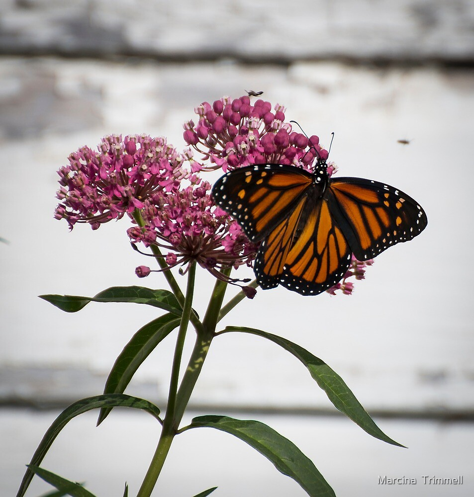The Monarch by Marcina  Trimmell