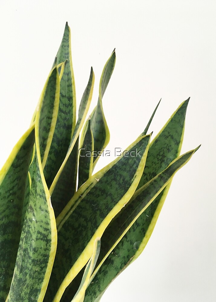 Sansevieria by Cassia Beck