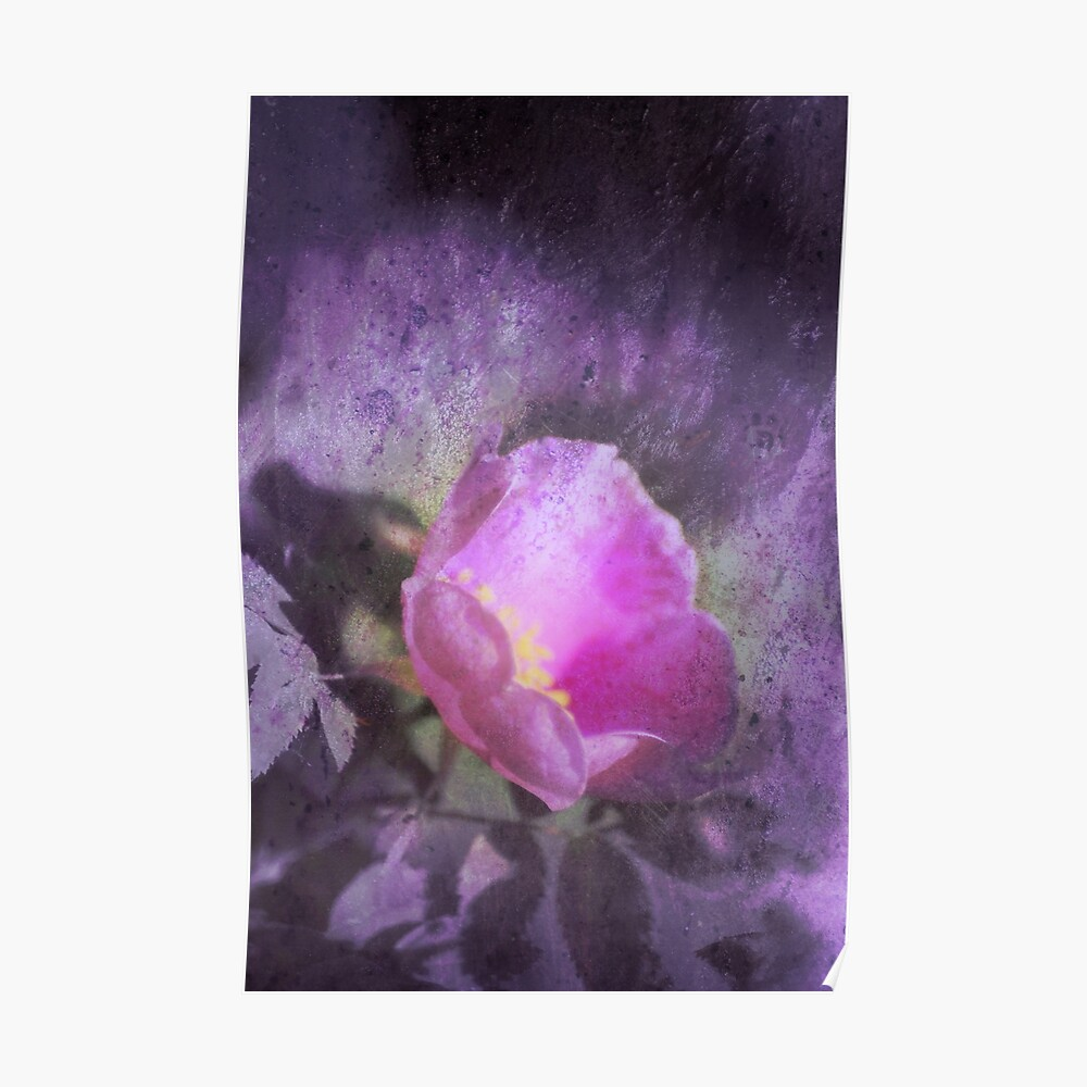Old fashioned pink rose, purple texture Poster