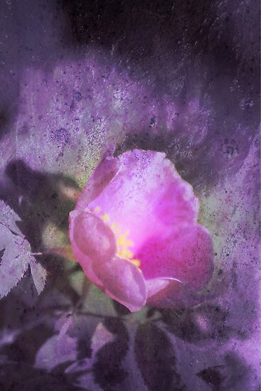 Old fashioned pink rose, purple texture by Dawna Morton