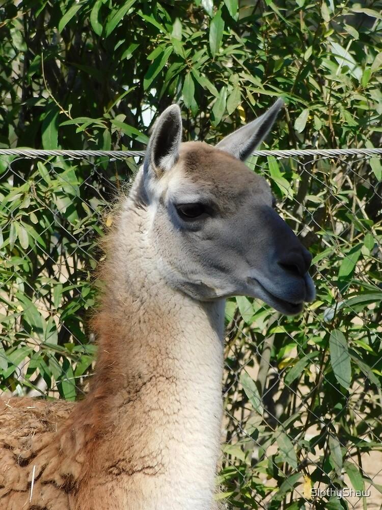 Mr Llama by SlothyShaw