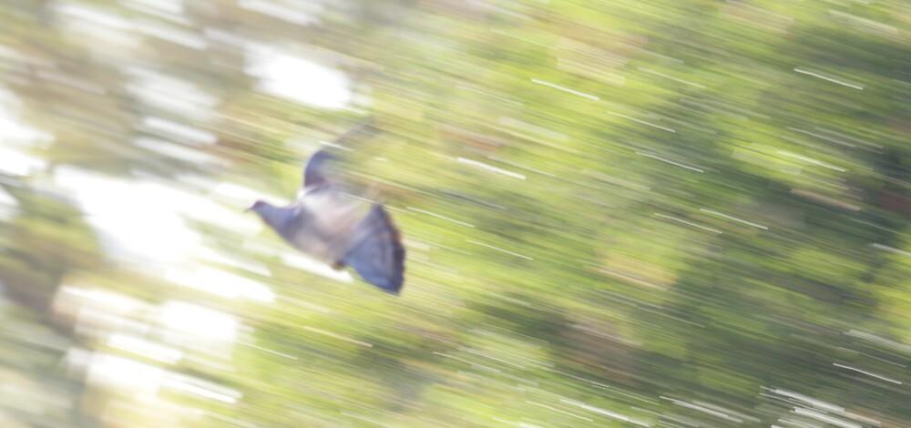 In Flight - Rock pigeon by Paul Lindenberg