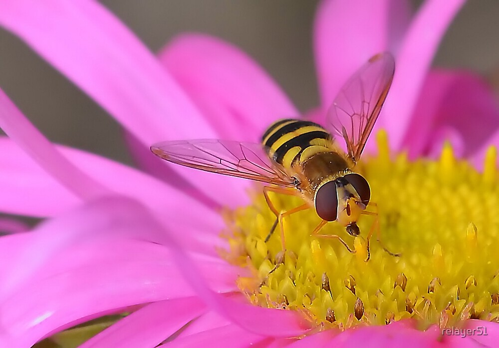 Hoverfly Feeding 2 by relayer51