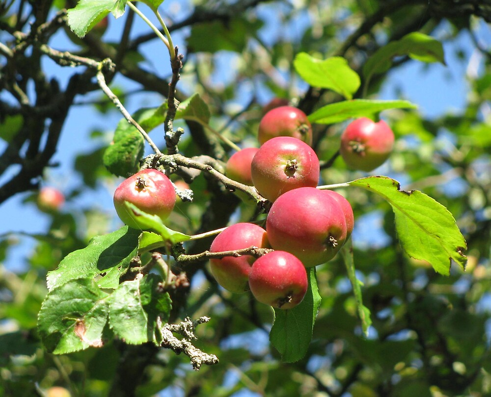 crab apples by Caroline Anderson