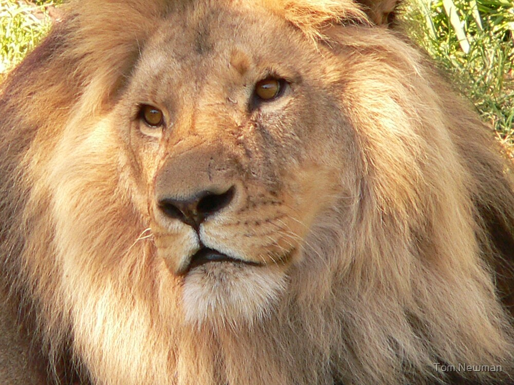 Lion at Melbourne Zoo VII by Tom Newman