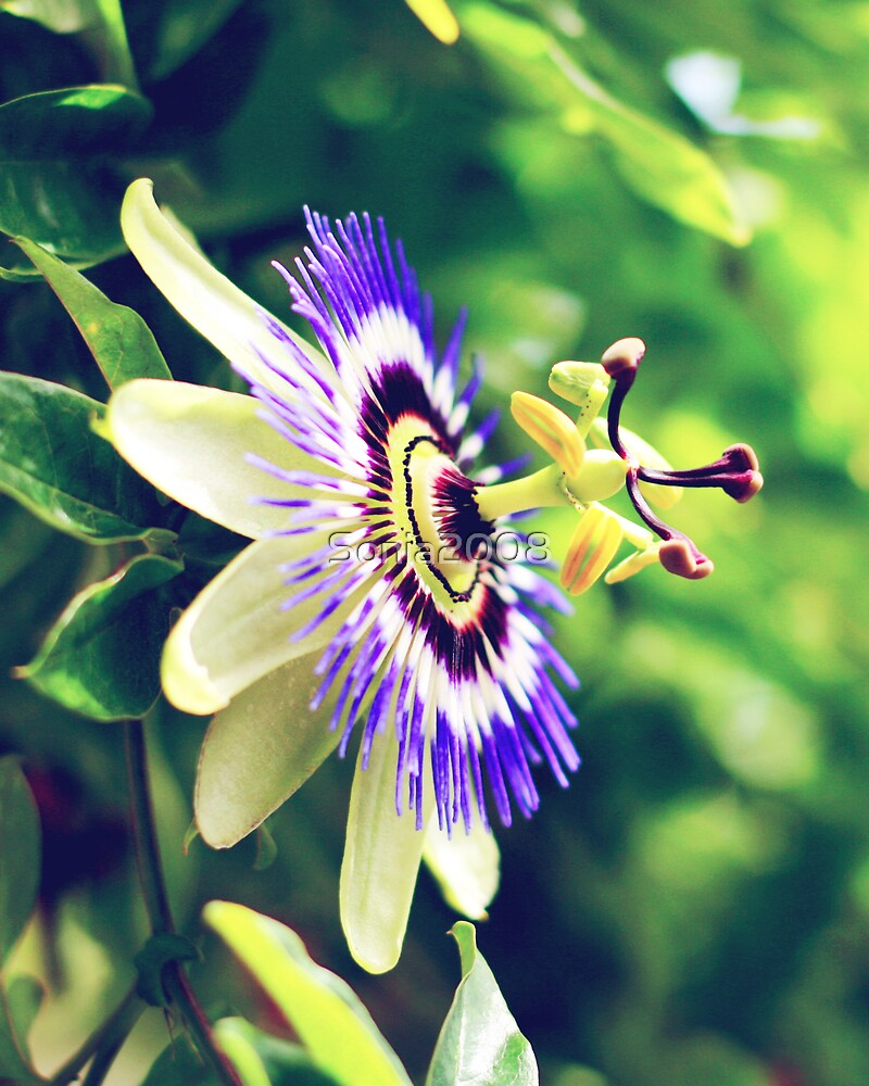 Passion Flower by Sonia2008