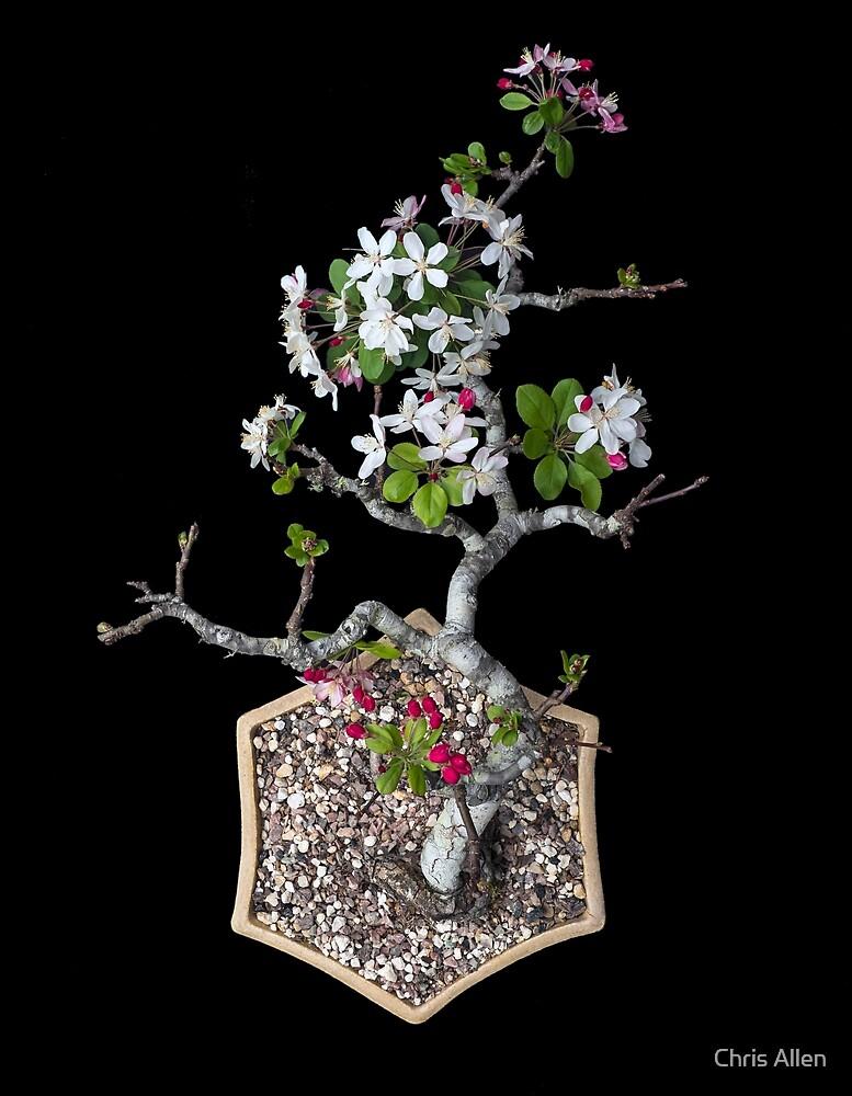 Bonsaied crabapple by Chris Allen