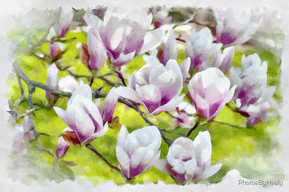 Saucer magnolias - watercolour by PhotosByHealy