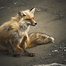 Itchy Fox by Colin Tobin